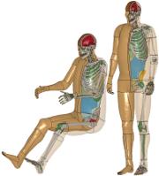 THUMS Human Models